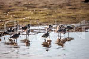 Flock of Willet shorebirds Tringa semipalmata