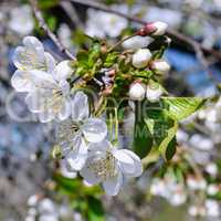Spring flowers. Beautifully blossoming tree branch.