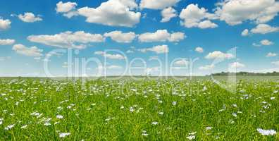 Fields with flowering flax and blue sky. Wide photo.