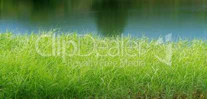 green reeds on Lake