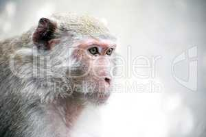 Dreamy Monkey Portrait
