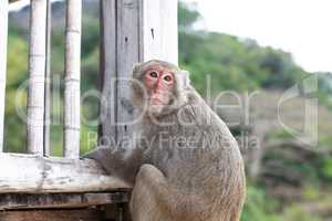 Monkey On Terrace