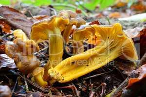 Yellow Foot mshrooms in natural habitat