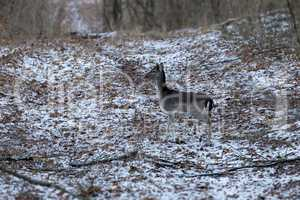 Fallow deer youngster in winter forest.