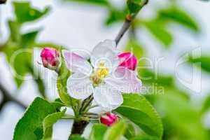 Nice apple flowers in springtime