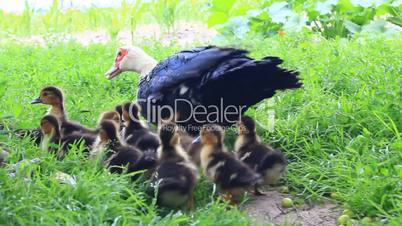 Muscovy duck hen with ducklings go in the poultry