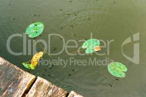 water meter bed bug, marshland, reflection of trees in the pond, a picturesque pond in the forest