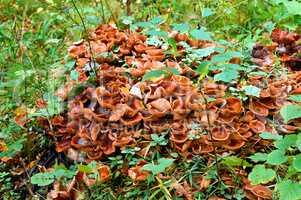 mushrooms, honey agaric, tree, parasite, fall, collect
