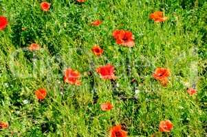 Scarlet poppies against the background of green grass. Focus on