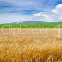Wheat field and blue sky with light clouds