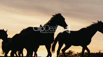 Herd of wild horses moving through the yellow hills, during pink sunset. Wild animals, wild places, running stallions
