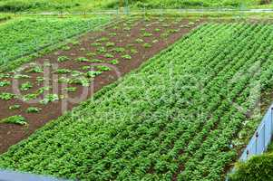 growing vegetables in the home garden, cultivated fields with sprouts of agricultural crops