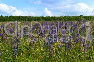 wildflowers, lilac and yellow and white meadow flowers and herbs