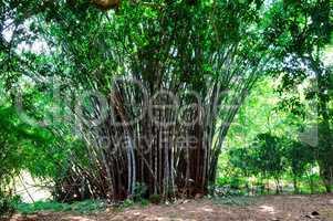 Bamboo branch in bamboo forest. Sri Lanka.