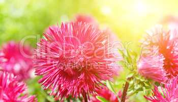 Flowerbed of multi-colored asters and sun. Wide photo