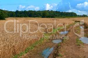 agricultural land, fields planted with wheat, wet dirt road with puddles in the field