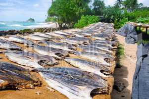 Drying fish under the sun on the beach of Sri Lanka.