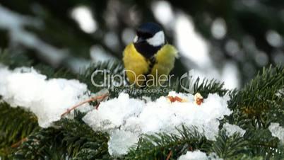 Bird on pine tree winter Great Tit Parus major 4k