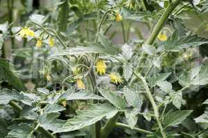 Bloom in the greenhouse tomato plants.