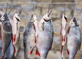 Salted fish ram is hanging on wire and dried outdoors