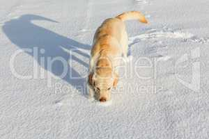 white labrador retriever sniffing in the snow