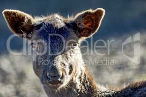 Animal portrait of fallow deer