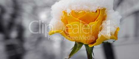 Delicate yellow rose in a flower bed covered with fresh snow. Wi