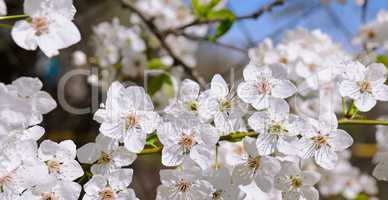 Spring flowers. Beautifully blossoming tree branch. Wide photo.