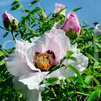 A beautiful peony flower in the summer garden.