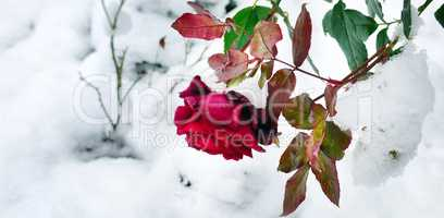 Delicate red rose in a flower bed covered with fresh snow. Wide