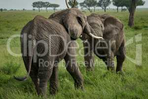 African elephants fighting with trunks on grassland
