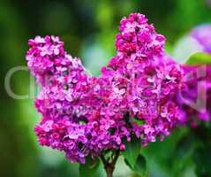 Purple lilac flowering