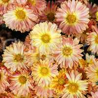 Bright chrysanthemum flowers