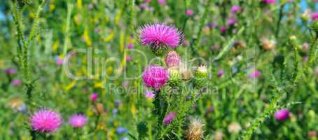 Pink milk thistle flower in bloom in summer morning. Wide photo
