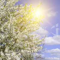 Beautifully blossoming tree branch. Cherry - Sakura and sun with