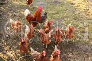 Hühner auf einer Hühnerfarm