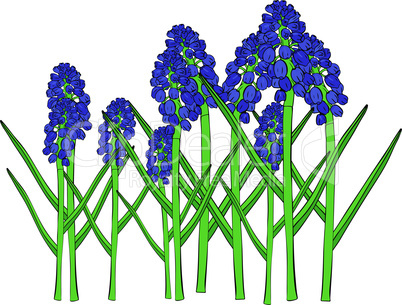 Blue spring flowers, a muscari flower or a mouse hyacinth