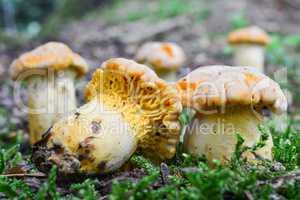 Group of Chanterelle mushrooms