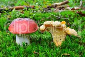 Edible and toxic mushroom sharing the habitat