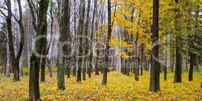 Autumn forest . Late fall. Overcast. A beautiful autumn forest w