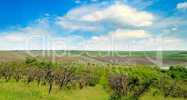 Orchard and blue cloudy sky. Wide photo.