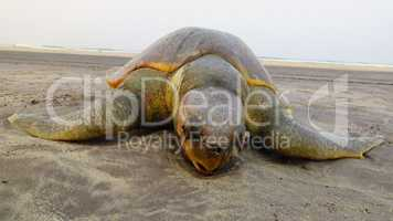 Wounded Dead Turtle