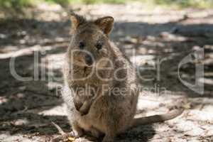 Quokka auf Rottnest Island, Western Australia