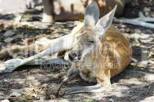 Rotes Riesenkänguru, Macropus rufus