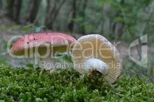 Two specimen of Vomiting russula var. silvestris mushrooms