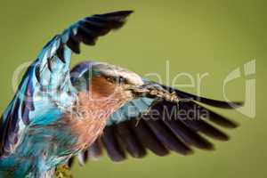 Close-up of lilac-breasted roller carrying dead grasshopper
