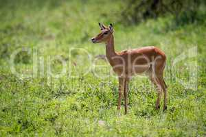 Female impala stands staring in long grass