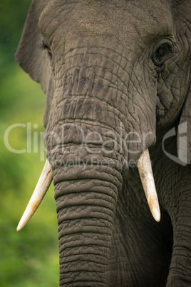 Close-up of African elephant trunk and tusks