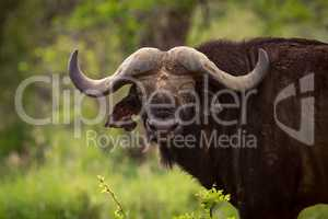 Cape buffalo in grassy clearing faces camera
