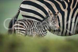 Baby plains zebra alongside mother behind bank